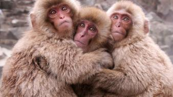 Animals monkeys japanese macaque wallpaper