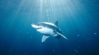 Animals national geographic sharks great white shark wallpaper