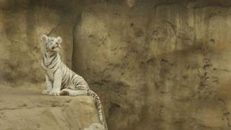 Animals tigers white tiger baby wallpaper