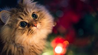 Cats christmas colors wallpaper