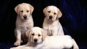 Dogs trinity puppies Wallpaper