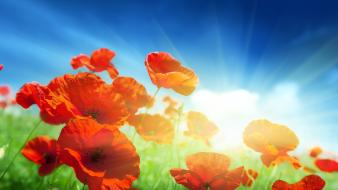 Flowers sunlight red poppies Wallpaper