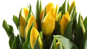 Flowers tulips yellow wallpaper
