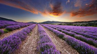 Nature lavender wallpaper