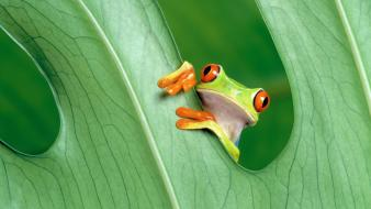 Nature leaves frogs red-eyed tree frog wallpaper