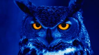 Owls orange eyes birds wallpaper