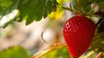Plants strawberries Wallpaper
