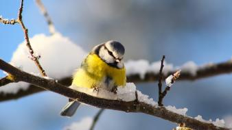 Snow birds branches blue tit wallpaper