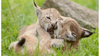 Animals lynx bobcats cubs kittens playing wallpaper
