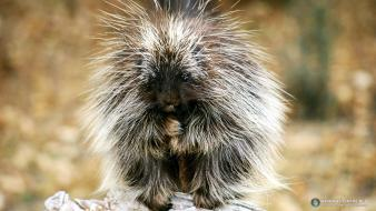 Animals porcupines funny wallpaper