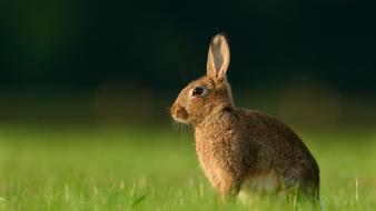 Bunnies nature grass wallpaper