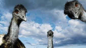 Close-up clouds ostrich birds wallpaper
