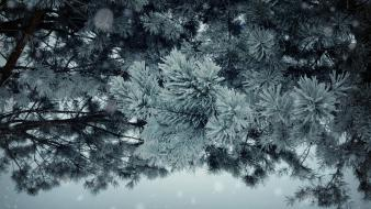Frost branches pine trees wallpaper