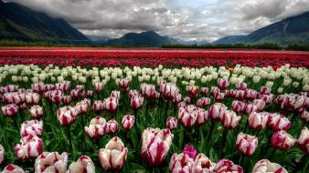 Landscapes nature flowers tulips wallpaper