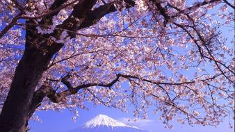 Nature cherry blossoms wallpaper
