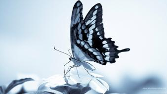 Nature insects monochrome butterflies wallpaper