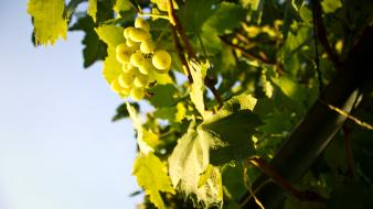 Nature leaves grapes fruit trees wallpaper