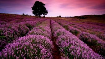 Nature trees fields lavender Wallpaper