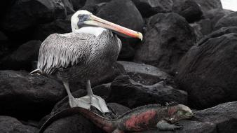 Rocks national geographic reptiles pelican iguana galapagos birds wallpaper