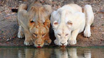 Water cats animals drinks lions lakes albino wallpaper