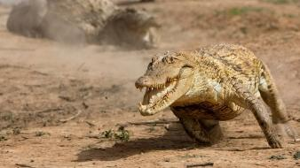 Animals crocodiles reptiles Wallpaper