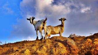 Animals goats mat wallpaper