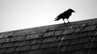 Black and white birds animals rooftops bird raven wallpaper