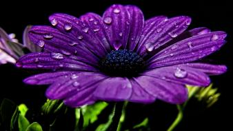 Flowers water drops black background purple wallpaper