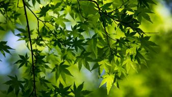 Green nature trees leaves macro maple leaf branches wallpaper