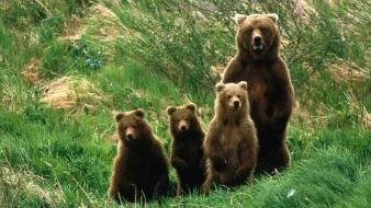 Animals bears baby wallpaper