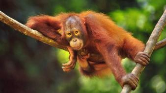 Animals branches orangutans wallpaper
