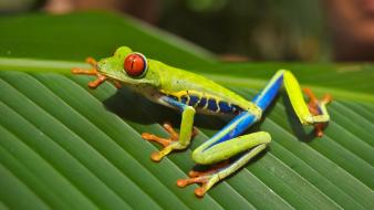Animals leaves frogs red-eyed tree frog amphibians wallpaper