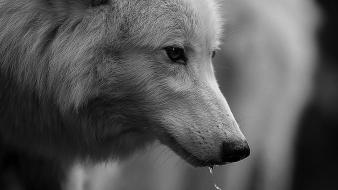Animals monochrome direwolf wolves wallpaper