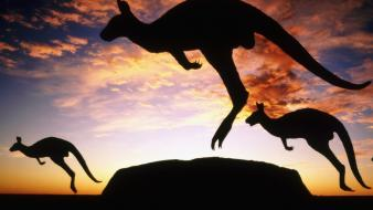 Animals silhouette jumping kangaroos wallpaper