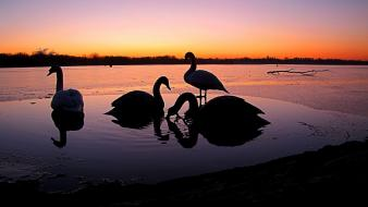 Animals silhouette swans lakes birds wallpaper