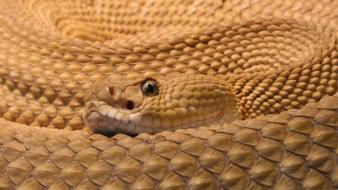 Animals snakes reptiles rattlesnakes mexican wallpaper