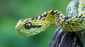 Animals snakes viper reptiles skin wallpaper