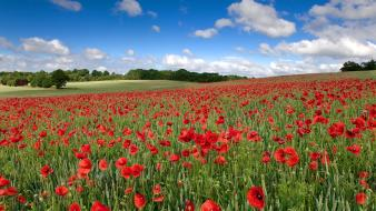 Fields united kingdom red flowers poppies spring wallpaper