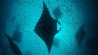 Fish maldives underwater manta ray wallpaper