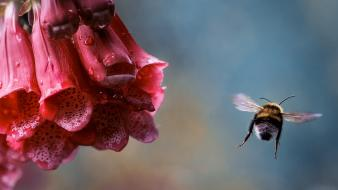 Flowers insects water drops bees pink foxgloves wallpaper