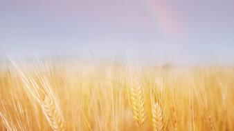 Landscapes nature gold wheat ears sky wallpaper