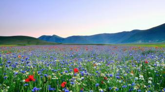 Landscapes nature meadows blue flowers poppies wildflowers wallpaper