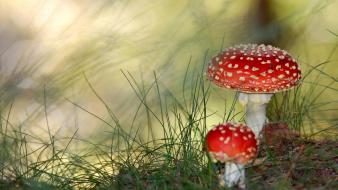 Nature mushrooms amanita muscaria wallpaper