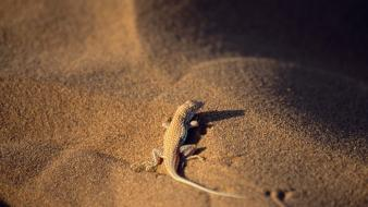 Nature sand desert lizards reptiles wallpaper
