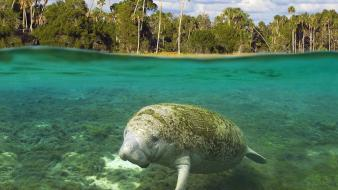 Animals florida manatee crystal river split-view wallpaper