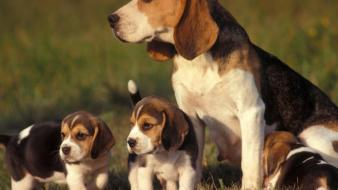 Animals puppies beagle wallpaper