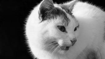 Black and white cats animals pets Wallpaper