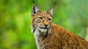 Cats animals lynx wallpaper