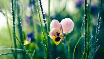 Flowers dew pansies wallpaper