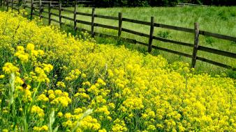 Landscapes nature fences yellow flowers wooden fence Wallpaper